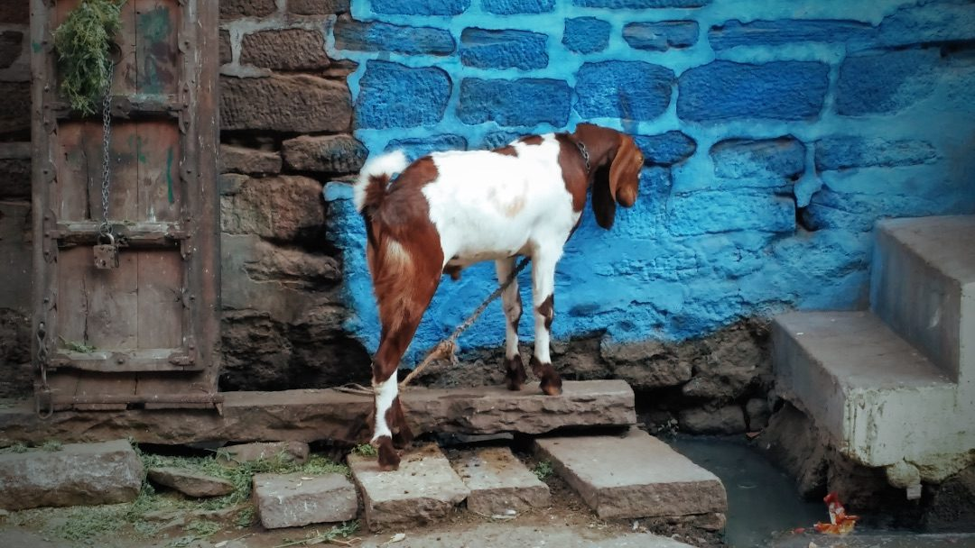 Goats of Rajasthan