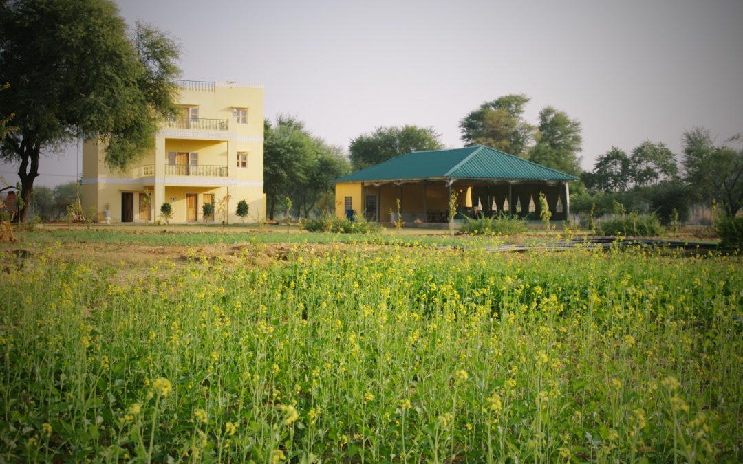 Growing Mustard at Ikaki Bagh