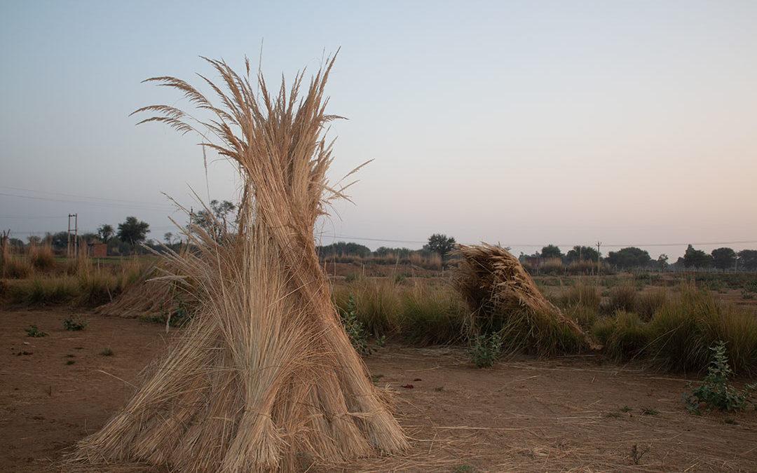 Tall Grasses of Ikaki Bagh